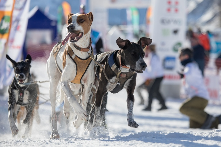 chiens de traineau runwithurdog iffs championat mondial mushing