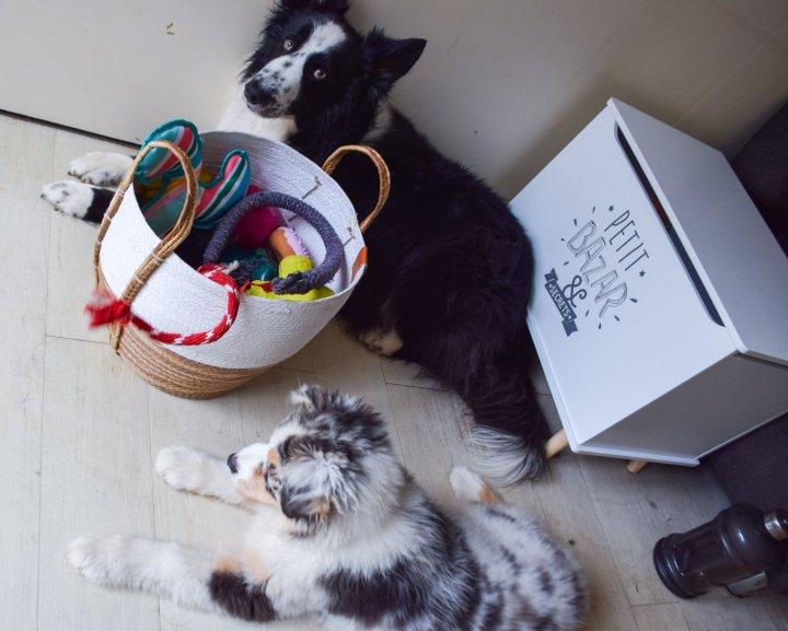 runwithurdog chiens bordercollie berger australien
