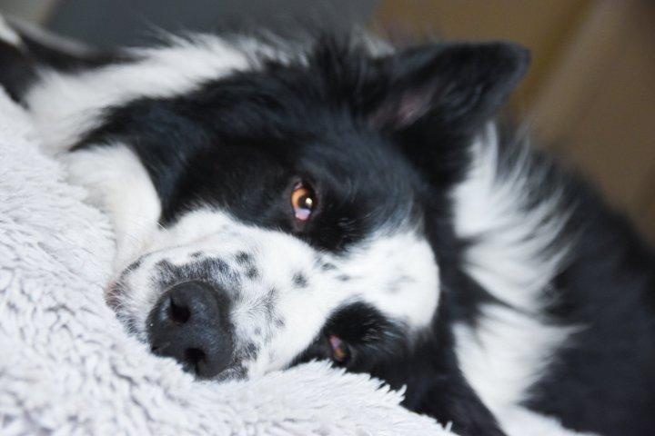 A la pointe de la technologie : traiter l'arthrose chez le chien avec des cellulessouches