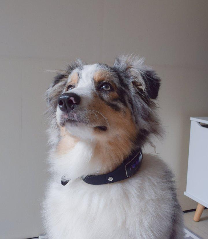 runwithurdog I-cad identification électronique animal