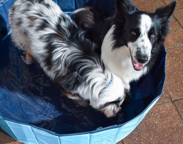 Canicule : comment protéger les chiens contre la chaleur?