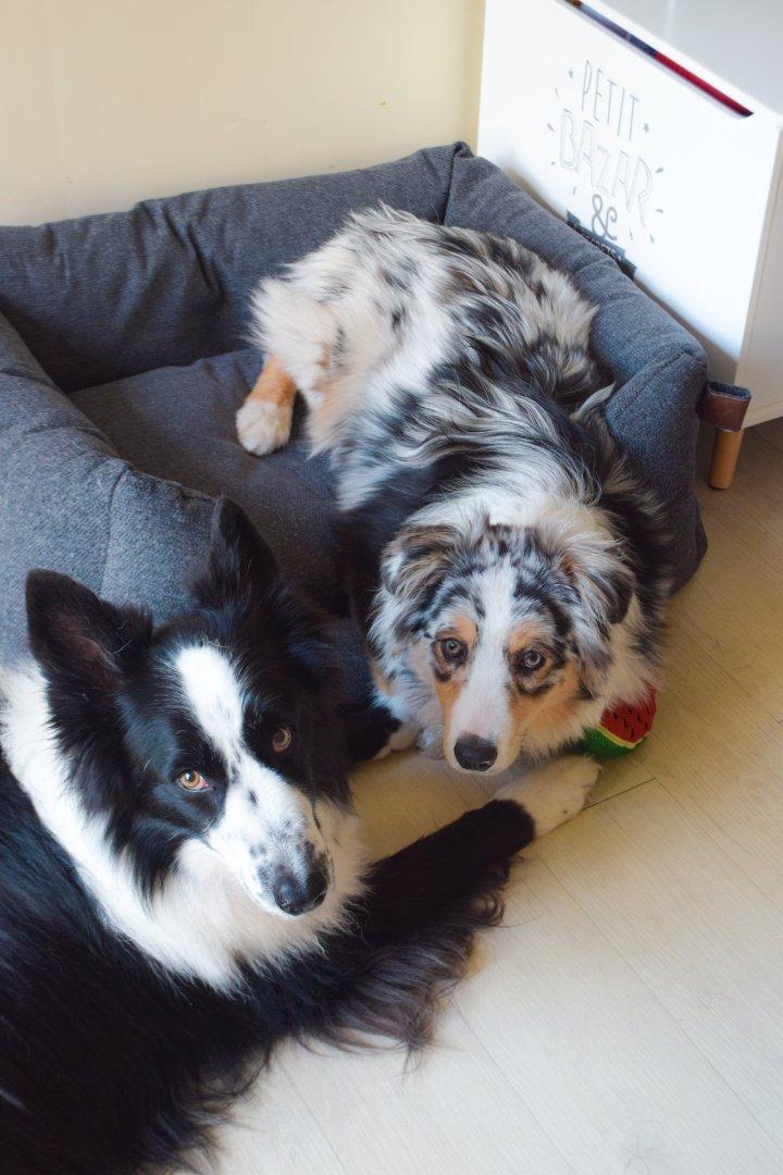 runwithurdog chiens bordercoliie berger australien